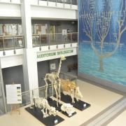 Ekspozycja szkieletów ssaków, wśród okazów podziwiać można żyrafę, nosorożca, hipopotama czy żubra. Wydział Biologii UG